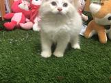 ●安心賣家~最高星評價~實體店面~稀少挪威森林貓