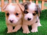●安心賣家~最高星評價~實體店面~英國名犬柯基犬