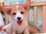明星犬柯基~歡迎現場賞狗~板橋區