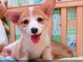 柯基軍團~現場數隻挑選~歡迎現場賞狗~板橋區