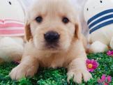 極度聰明黃金獵犬15000~22000