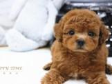 ❇寵物時光❇頂級 日系迷你 泰迪熊臉蛋玩具茶杯深紅貴賓 Teacup Poodle