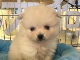 【美力狗寵物生活館】全新裝潢重新開張 ★花/白博美$9000★及眾多幼犬歡迎參觀