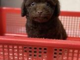 日系超優質巧克力貴賓弟弟來嚕 優美犬舍 買狗純種專業犬舍