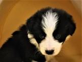 瑪子狗寵物生活館 批發價邊境牧羊犬寶寶