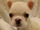 【美力狗寵物生活館】全新裝潢重新開張 法鬥11000 ★及眾多幼犬歡迎參觀