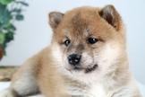 頂級日系柴犬寶寶~提供現金分期服務~可刷卡~另有其他幼犬