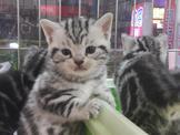 ~優質美國短毛貓~銀白色、古銅色都有~特價8000起~可刷卡~可辦現金分期