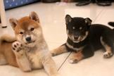 日系柴犬寶寶(赤柴/白柴/黑柴)~提供現金分期服務~可刷卡~另有其他幼犬