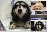 優質漂亮/奶油/黑四目長毛臘腸犬~提供現金分期服務~可刷卡~另有其他幼犬