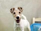 ◆快樂狗幼犬生活館◆精挑嚴選◆優質懷亞鐵利亞犬剛毛獵狐梗幼犬出售◆wirehair fox terrier baby for sale