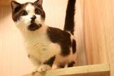 曼赤肯短腿貓..藍短腿/黑白賓士..特價中~可辦現金分期~可線上刷卡~
