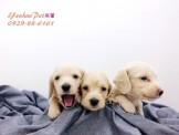 燕翬(ㄏㄨㄟ)寵物►現時心動亮相重量級夥伴臘腸犬◄►活潑親人小電池,唯你獨愛首選◄新登場~~~puppies for sale!!