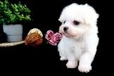 漂亮雪白瑪爾濟斯~可刷卡~六顆星~通過安心賣家認證~另有其他幼犬