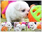 優質雪白迷你馬爾濟斯寶寶~最新照片~另有其他幼犬