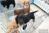 漂亮各色系長毛臘腸寶寶~提供現金分期服務~可刷卡~另有其他幼犬