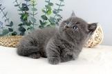 曼赤肯短腿貓..美短短腿/藍短腿/特價中~可辦現金分期~可線上刷卡~