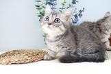 曼赤肯短腿貓.藍短腿/藍奶油特價中~可刷卡~可分期~可振興卷~通過安心賣家認證~另有其他幼犬