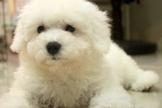 漂亮棉花糖比熊寶寶~提供現金分期服務~可刷卡~另有其他幼犬