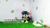 燕翬(ㄏㄨㄟ)寵物✨►現時心動亮相雪納瑞◄►高貴氣質優雅首選◄►Schnauzer puppy for sale!