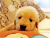 【美力狗寵物生活館】全新裝潢重新開張 ★黃金獵犬$12000起★及眾多幼犬歡迎參觀