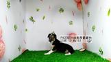 燕翬(ㄏㄨㄟ)寵物✨►現時心動亮相靈緹犬◄►靈巧、機警、聰明、古代犬種之一!