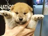 【美力狗寵物生活館】全新裝潢重新開張 ★柴犬$5500起★及眾多幼犬歡迎參觀