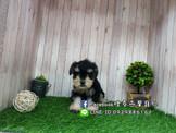燕翬(ㄏㄨㄟ)寵物✨ ►高貴氣質優雅首選◄雪納瑞►Schnauzer puppy for sale!