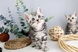 ~漂亮可愛的美國短毛貓~可刷卡~可分期~通過安心賣家認證~另有其他幼犬