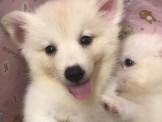 ღ萌萌噠寵物生活館ღ狐狸犬