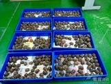 【新貨】400隻豹龜