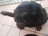 家裡空間不夠,忍痛割愛亞達伯拉象龜