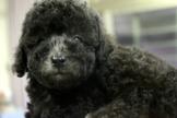 優質玩具灰貴賓寶寶~提供現金分期服務~可刷卡~另有其他幼犬