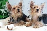 優質金頭黑蓋約克夏寶寶~提供現金分期服務~可刷卡~另有其他幼犬