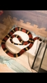 售帕布拉奶蛇