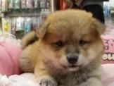 赤、白柴犬寶寶(腮幫子超厚、臉蛋甜美)特價9999起