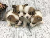 柯基犬小寶寶10多隻可挑選另有幼公特価12000