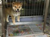 可愛的小柴犬