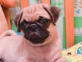 特務犬~Kingsman JB~明星犬~優質安心賣家