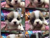 可愛柯基寶寶幼犬