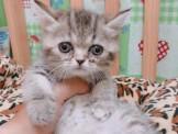 藍短腿貓~板橋區~安心賣家