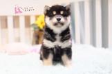 【王者之姿 霸氣登場】 正宗日本血統 黑、白柴寶貝
