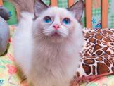 超可愛~布偶貓~板橋區~安心賣家