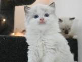 ●安心賣家~最高星評價~實體店面~爆毛血系~布偶貓~