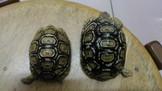 豹紋陸龜 中小體型 兩隻6500