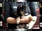 寵物E世代~特美非常稀有黑柴犬寶寶賽級原始味!