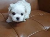 迷你型.爆毛.大眼 無淚痕 貓臉  瑪爾濟斯 1.5公斤左右迷妳幼犬