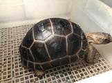 售 賣 亞達伯拉象龜 蘇卡達象龜 肯亞豹龜