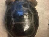 售 賣 亞達伯拉象龜 黃腿象龜 紅腿象龜