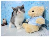 可愛加菲貓弟弟(奶油賓士/奶油端子/藍白賓士)